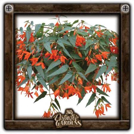 BEGONIA Encanto Orange 4