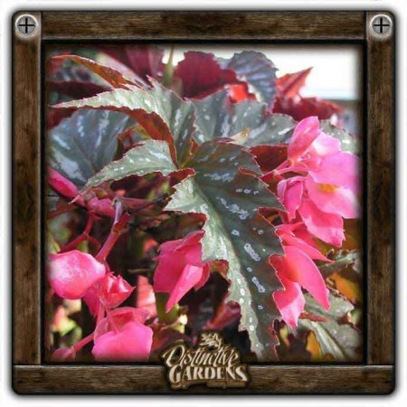 BEGONIA Angel Wings Lana 4