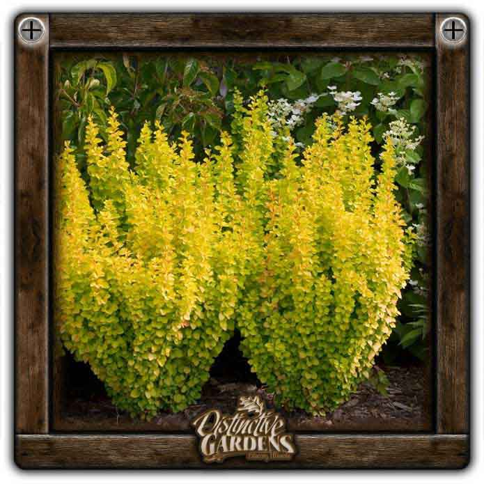 BERBERIS Gold Pillar 2 gal.
