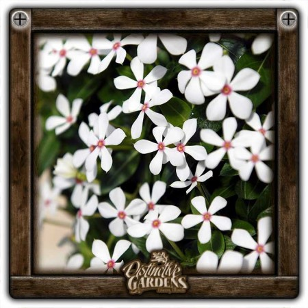 CATHARANTHUS Soiree Kawaii Peppermint 4