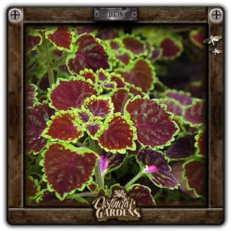 COLEUS Burgundy Wedding Train 4