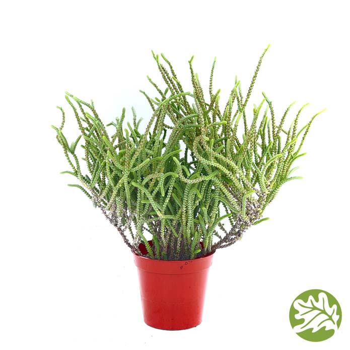 CRASSULA Princess Pine Medium 3