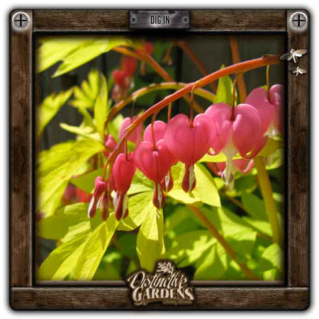 DICENTRA Gold Heart gal.