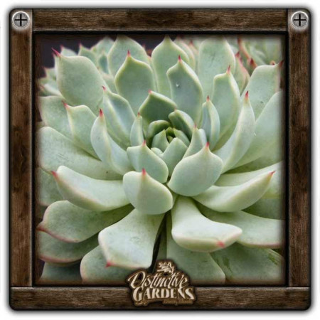 ECHEVERIA Agavoides Large 4