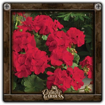 GERANIUM ANNUAL Calliope Dark Red 4