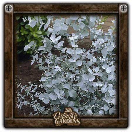 HERB Eucalyptus gunnii 4