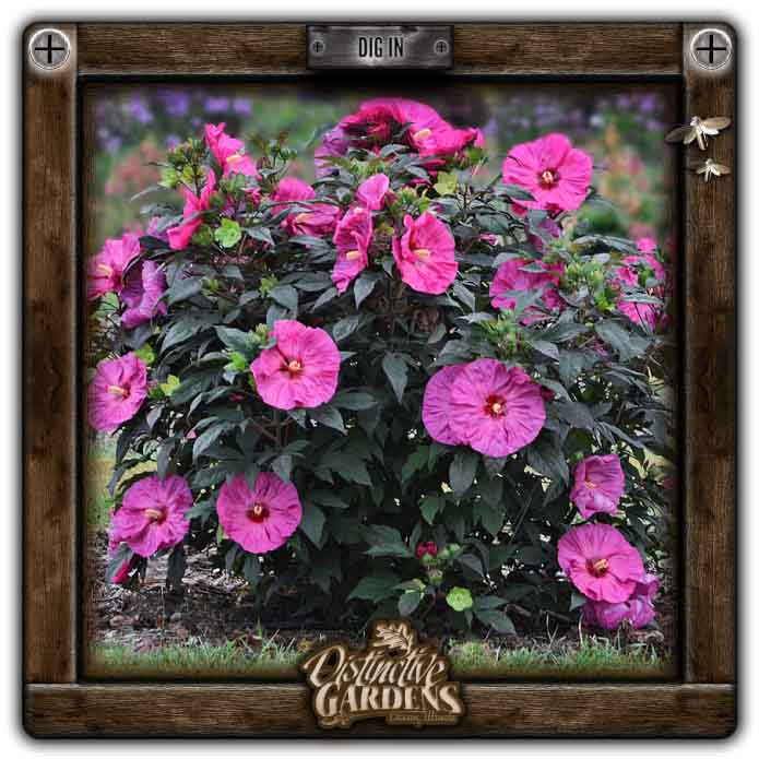 HIBISCUS PERENNIAL Berry Awesome 2 gal.