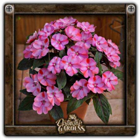 IMPATIENS SunPatiens Compact Pink Candy 4