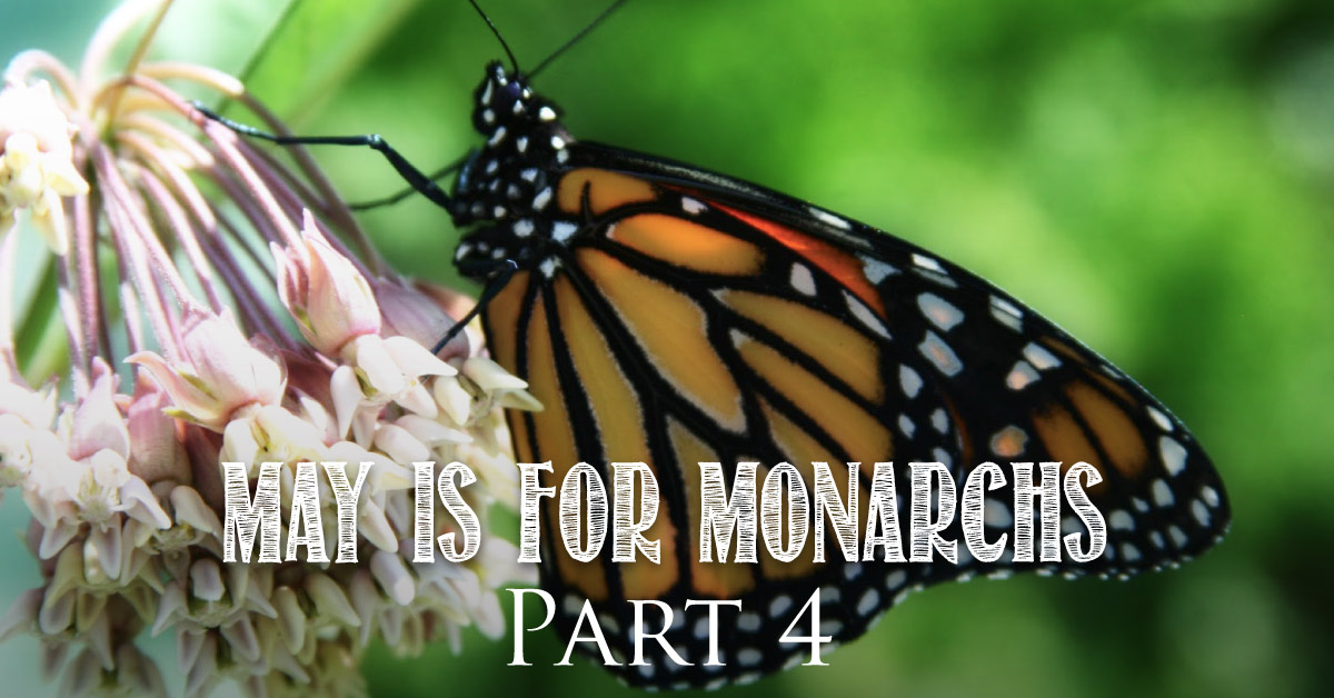May is for Monarchs Part 4 : Helping Monarchs