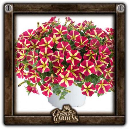 PETUNIA Amore Queen of Hearts 4