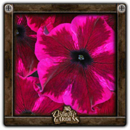 PETUNIA Crazytunia Cosmic Purple 4