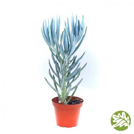 SENECIO Blue Medium 3