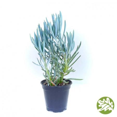 SENECIO Blue Large 4