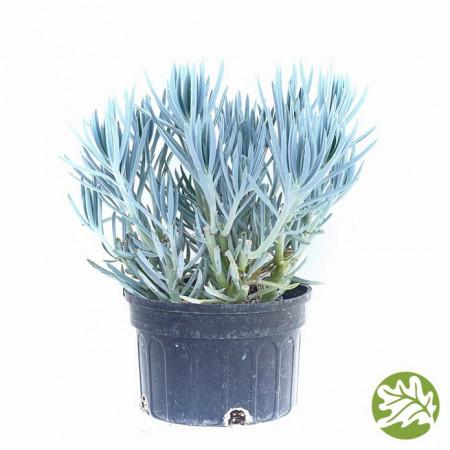 SENECIO Blue Jumbo 8