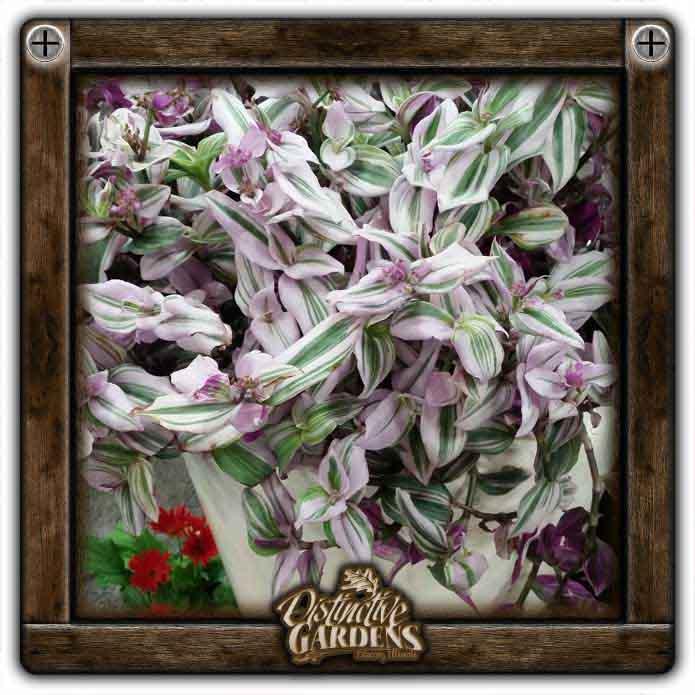 TRADESCANTIA Lilac 4