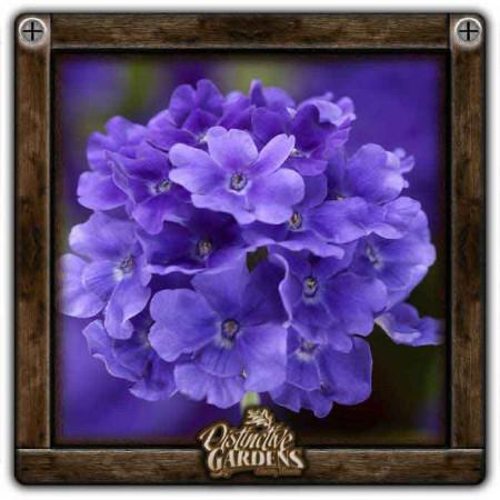 VERBENA Lanai Upright True Blue 4