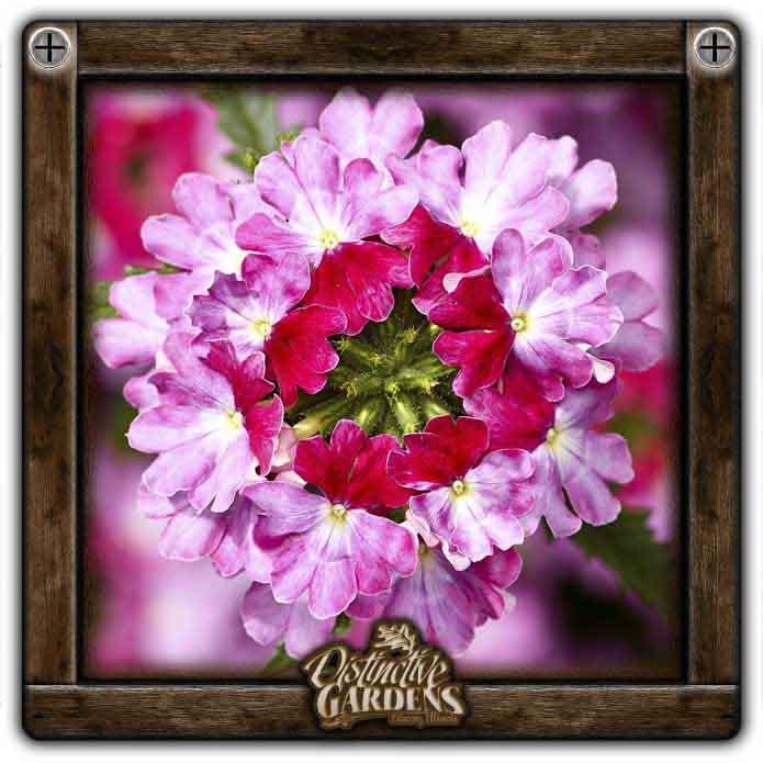 VERBENA Lanai Upright Twister Rose 4